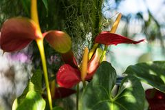 Anthurium andraenum plant with red leaf and yellow bud Stock Photography