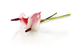 Anthurium Andrea Tricolor Στοκ Φωτογραφία