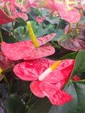 Anthurium andreanum, διάφορα κόκκινα anthuriums με το πράσινο φύλλωμα στο υπόβαθρο Στοκ Φωτογραφία