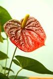 anthurium andreanum Στοκ Φωτογραφίες