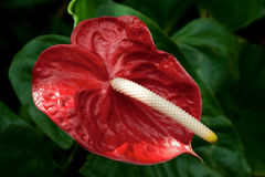 Anthurium Andreanum. Anthurium can also be called Flamingo Flower or Boy Flower. Shot in Jardín de Aclimatación de la Orotava - Tenerife Botanic Garden Royalty Free Stock Photography