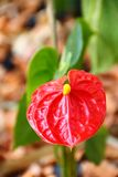 Anthurium Andreanum Royalty Free Stock Photography