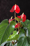 Anthurium andreanum. A strange plant with leaves that turn red to become the flower. The strange shape of the flower has led it to have the nickname of ' Stock Image
