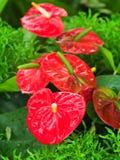 Anthurium andreanum Andre, tailflower, λουλούδι φλαμίγκο, ή lacel Στοκ Φωτογραφία