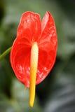 Anthurium Andreanum bij de Botanische Tuin Stock Afbeeldingen