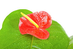 Anthurium andreanum isolated on white Stock Photo