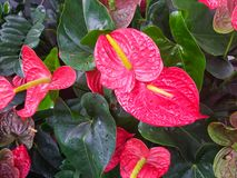 Anthurium andreanum, Red Anthuriums in green leafy background. Tropical plants Stock Photo