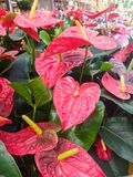 Anthurium andreanum, red leaves of tropical plant. Anthurium, Anthurium andreanum, red leaves of beautiful tropical plant, widely used in gardens Royalty Free Stock Images