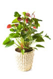 Anthurium Andreanum Red Queen Stock Photo