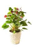 Anthurium Andreanum Red Queen Stock Photo