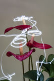 Anthurium Angels Stock Photography