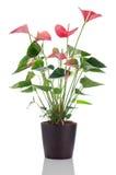 anthurium anthedesia όμορφο Στοκ Εικόνες