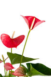 anthurium anthedesia όμορφο Στοκ φωτογραφίες με δικαίωμα ελεύθερης χρήσης