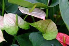 Anthurium. Is an exotic flowering plant Royalty Free Stock Images