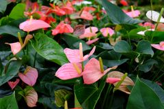 Anthurium. Is an exotic flowering plant Royalty Free Stock Photography
