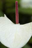 Anthurium. S also called tail flower, flamingo flower or laceleaf are species of flowering plants with tail-like flower spikes and heart-shaped leaves Royalty Free Stock Photography