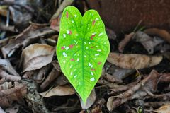 Anthurium beautiful leaf in a garden royalty free stock image