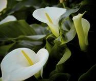 Anthurium biali kwiaty Fotografia Royalty Free