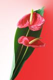 Anthurium bouquet. Two anthurium flowers wrapped with a wide green leaf into a decorative bouquet. It is a tropical plant cultivated for their showy foliage and Royalty Free Stock Photo