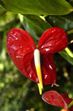 Anthurium in Brilliant Red. Anthurium blooms in this garden among other of its kind.  Green leaves form top of picture.  Another bloom is just below Stock Photography