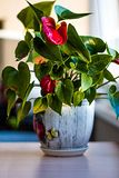 Anthurium in a ceramic pot royalty free stock photography
