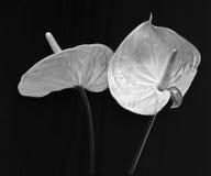 Anthurium de la flor Fotografía de archivo