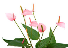 Anthurium decorative flower Stock Photo