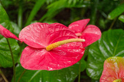 Anthurium. Detail Anthurium Closeup in Hawaii Royalty Free Stock Images