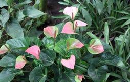 Anthurium evergreens Στοκ Φωτογραφία