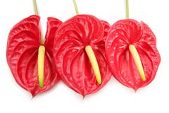 Anthurium exotic beautiful red flower still Stock Image