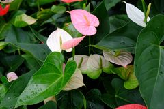 Anthurium. Is an exotic flowering plant Stock Photos