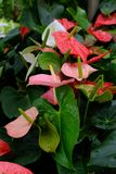 Anthurium. Is an exotic flowering plant royalty free stock image