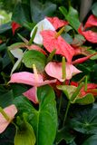Anthurium. Is an exotic flowering plant Stock Images
