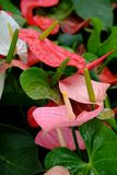 Anthurium. Is an exotic flowering plant Stock Photo