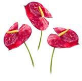 Anthurium Exotisk röd blomma Fotografering för Bildbyråer