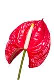 Anthurium, flaminga kwiaty/. Fotografia Royalty Free