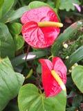 Anthurium flaminga kwiaty Zdjęcia Stock