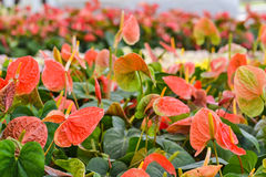 Anthurium (Flamingo Flower or Spadix). Plenty of Anthurium (Flamingo Flower or Spadix Stock Image