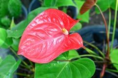 Anthurium/Flamingo Flowers In The Garden Stock Photos
