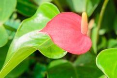 Anthurium/Flamingo flowers Royalty Free Stock Images