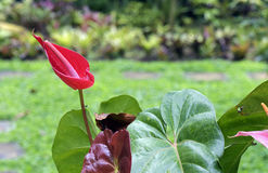Anthurium of flamingobloem Stock Afbeeldingen