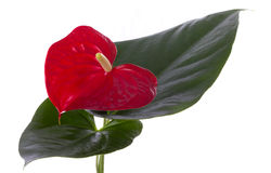 Anthurium flower. Red Anthurium flower and leafs Royalty Free Stock Image