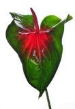 Anthurium flower Stock Image