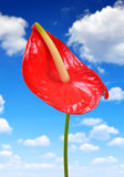 Anthurium flower Royalty Free Stock Photography