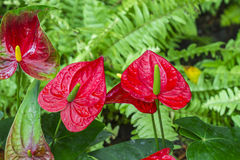 Anthurium flower in botanic garden Royalty Free Stock Photo