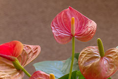 Anthurium  Flower Stock Photo