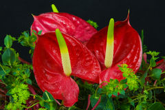 Anthurium Royalty Free Stock Images