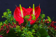 Anthurium Stock Photography
