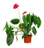 Anthurium flower in flowerpot Royalty Free Stock Photo