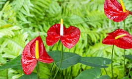 Anthurium flower in garden Royalty Free Stock Photography